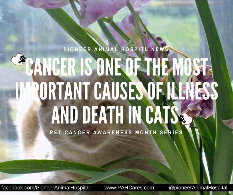 Pioneer Animal Hospital, Pet Cancer Awareness Month, Cats and Cancer