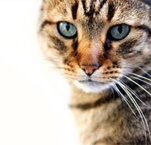 Diabetes is the 2nd most common endocrine disease in cats.